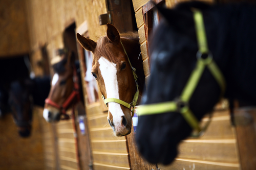 buying horses at auction